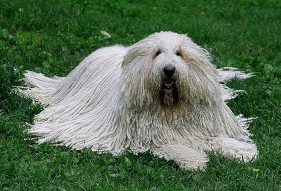 волосатая собака