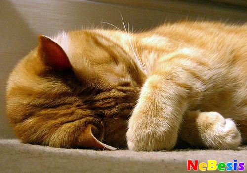 Лечение гайморита у кошек