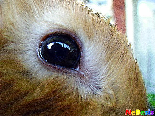 Что делать если у кролика слезится глаз