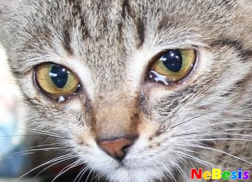 Что делать если у котенка слезятся глаза