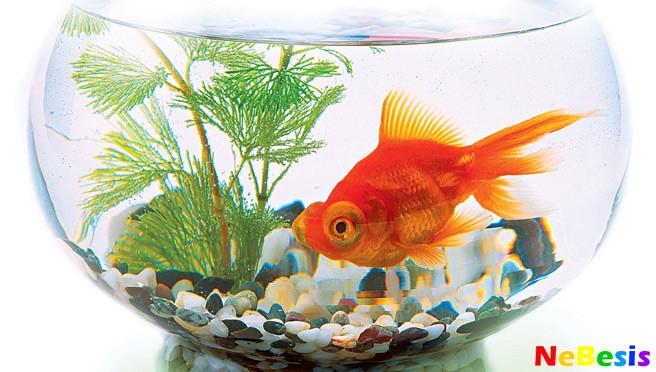 золотая-рыбка-фэн-шуй-copy