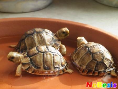 Три черепахи по Фен-шуй